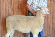 Sheep exhibitors take home prizes from fair