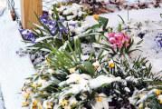 Snowy spring flowers