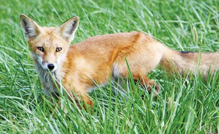 Buckeye State fox