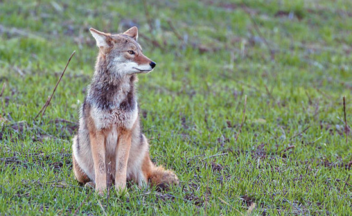 Free ODNR coyote hunting and trapping workshop set to take place in Findlay